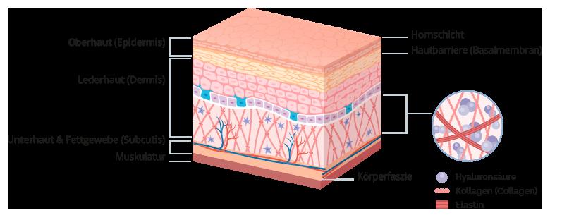 Hautquerschnitt Hautaufbau Köln